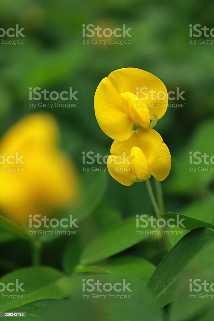 Couple of Arachis pintoi flower stock photo