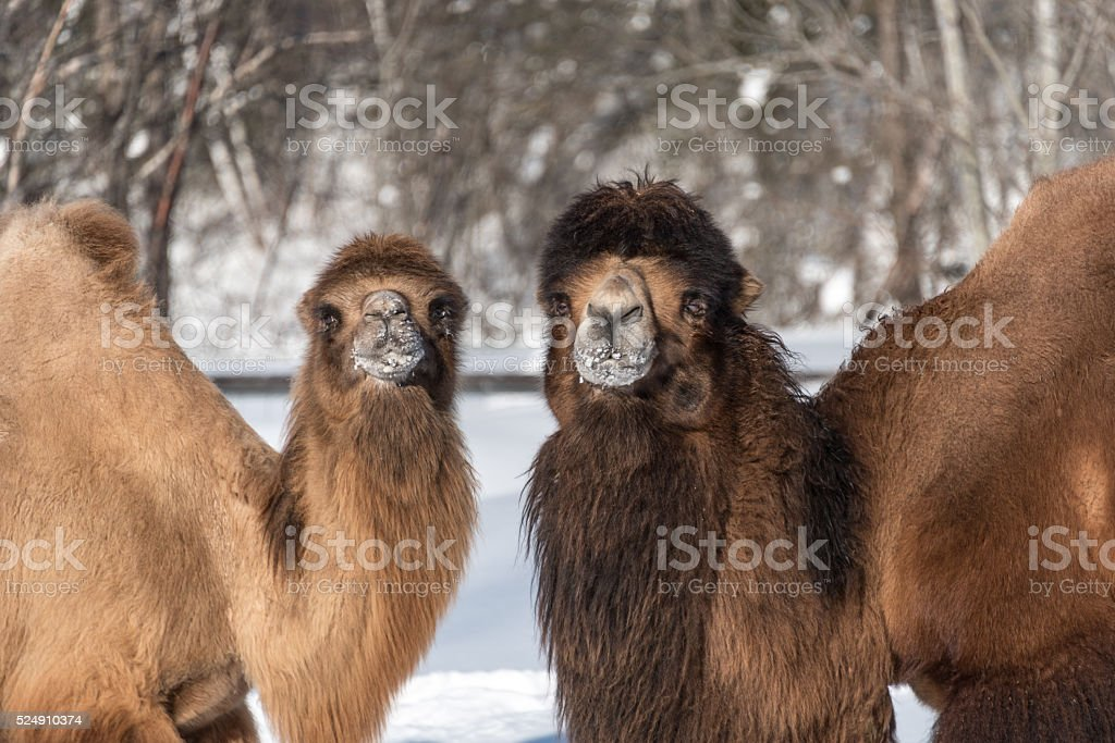 couple of Bactrian camel stock photo