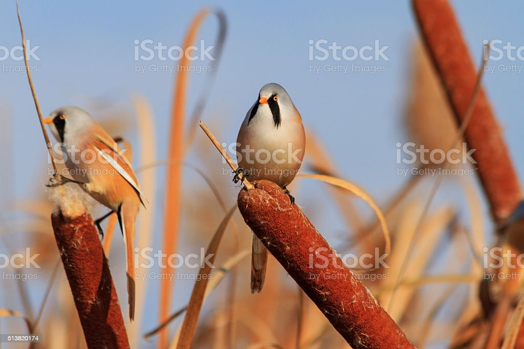 couple of birds in cattail stock photo