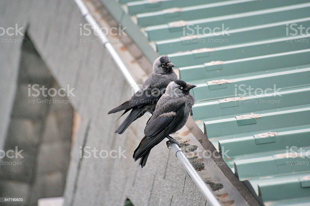 Couple of black birds stock photo