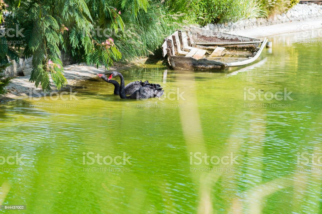 couple of black swans stock photo