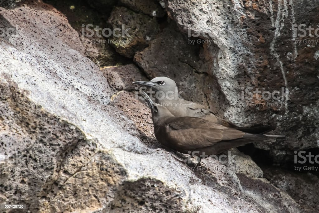 Couple of Brown noddies perching on a rock stock photo