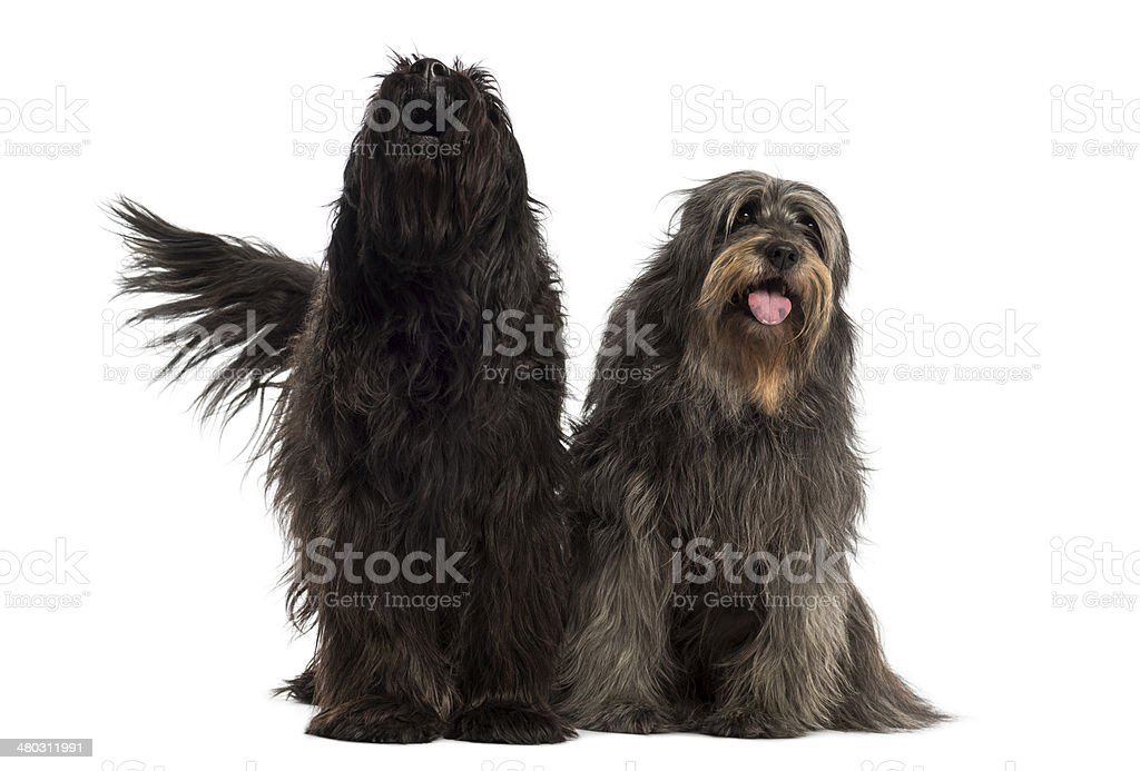 Couple of Catalan sheepdogs together barking and panting stock photo