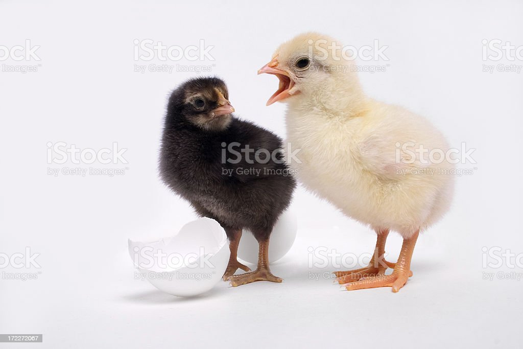 Couple of Chicks royalty-free stock photo