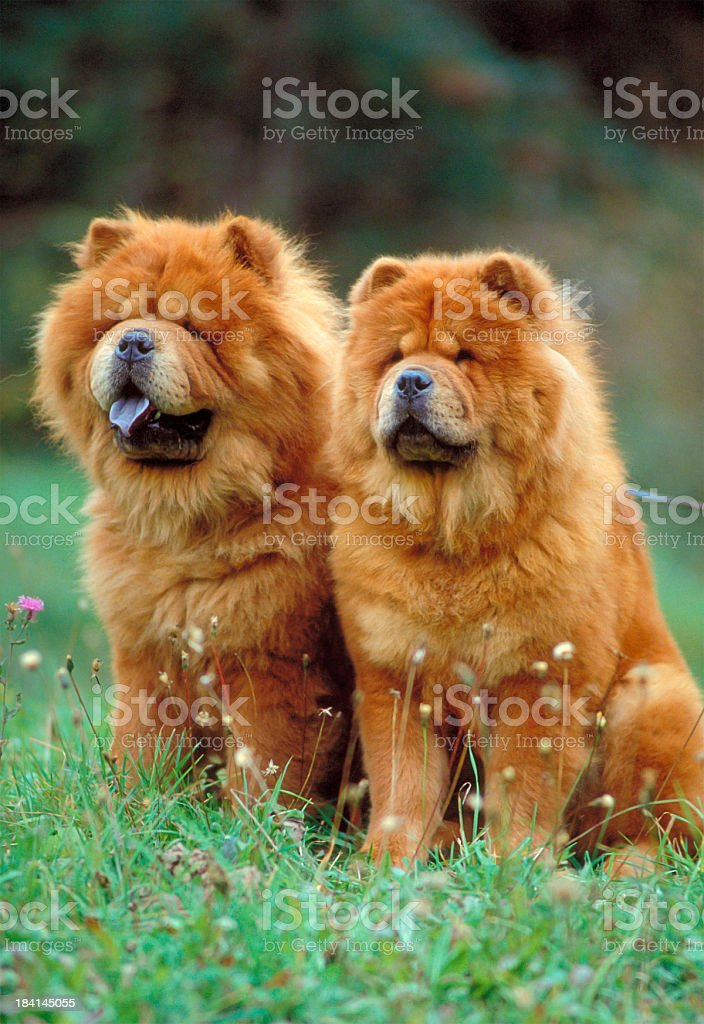 Couple of Chow Chow dogs sitting on a meadow stock photo
