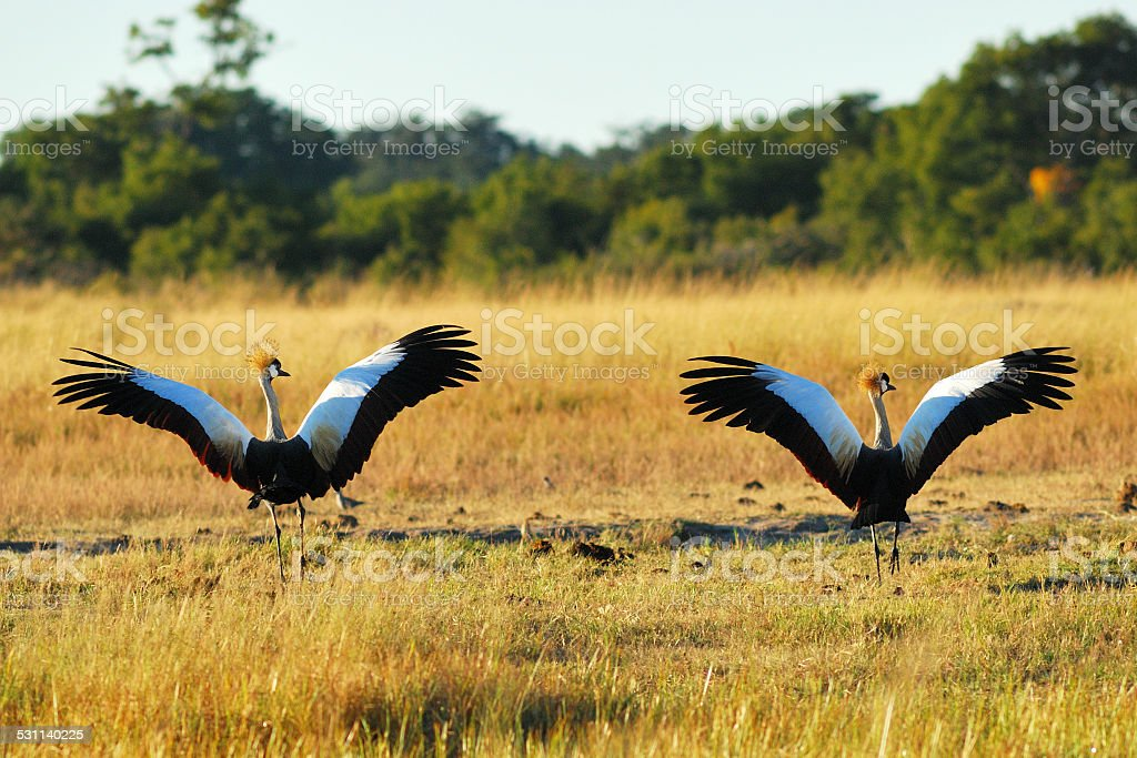 Couple of crowed cranes taking off stock photo