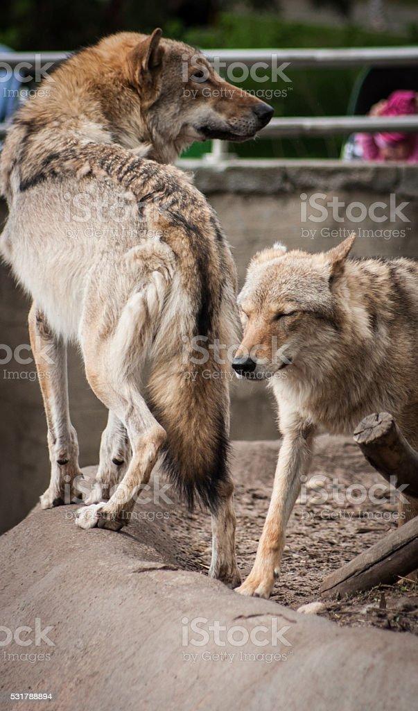 Joli Couple de loups photo libre de droits