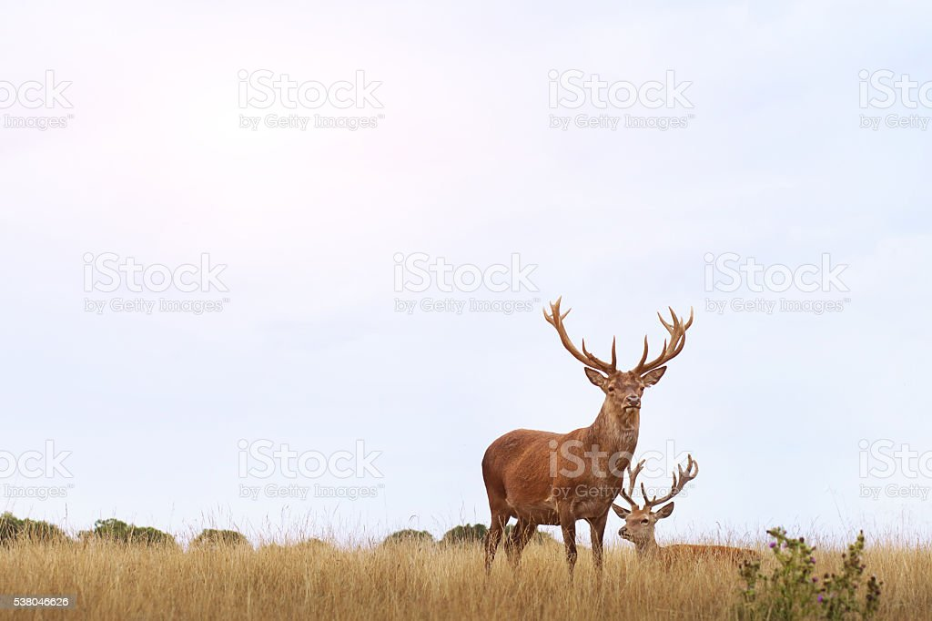 couple of deers stock photo