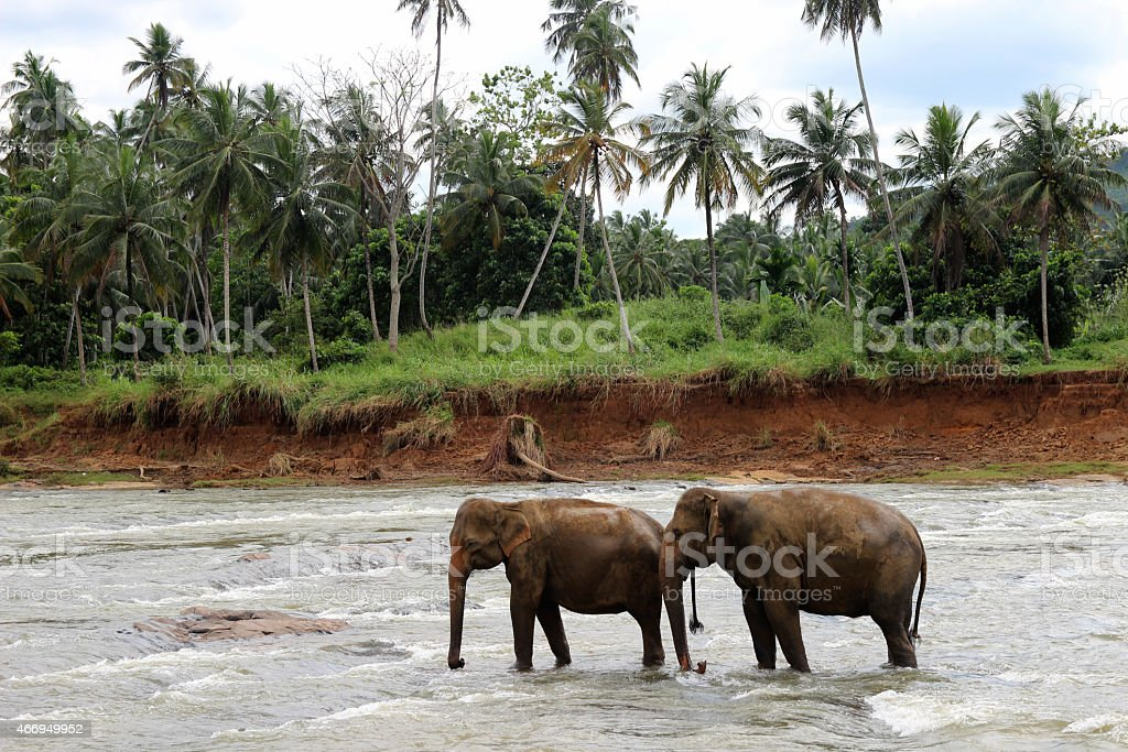 couple of elephants crosses the river royalty-free stock photo