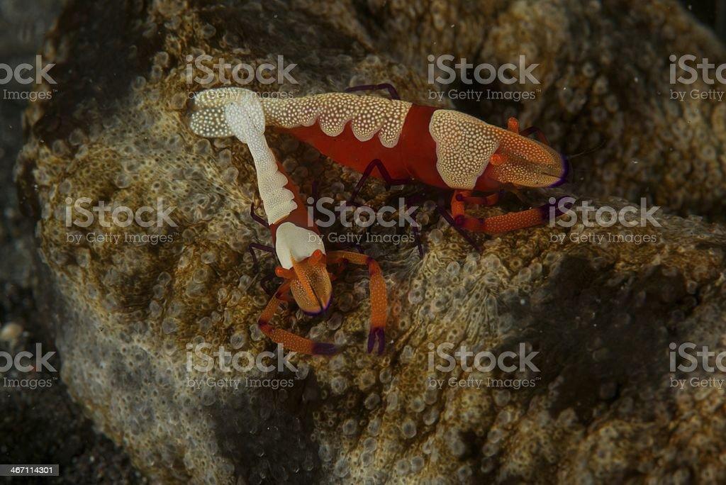 Couple of emperor shrimps stock photo