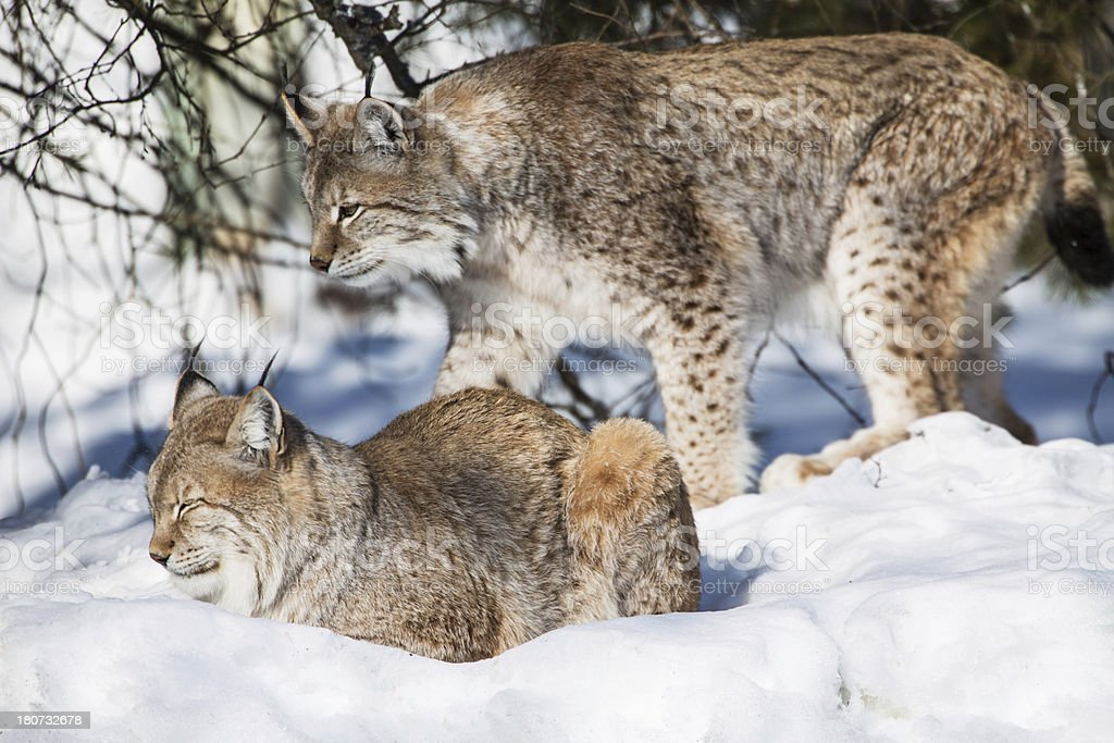 Couple of Eurasian Lynx royalty-free stock photo