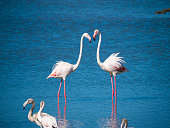 Couple of Flamingos