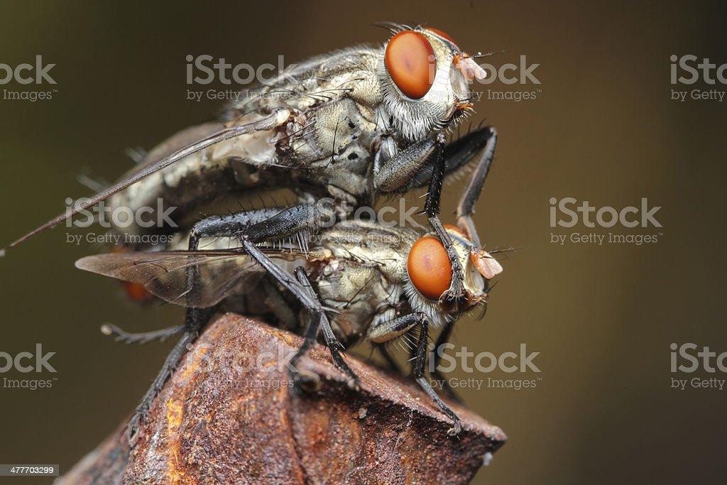 couple of fly macro royalty-free stock photo