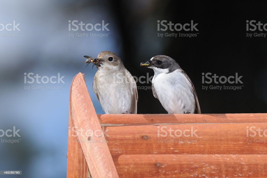 Couple of Flycatchers with the feed on nestling box stock photo