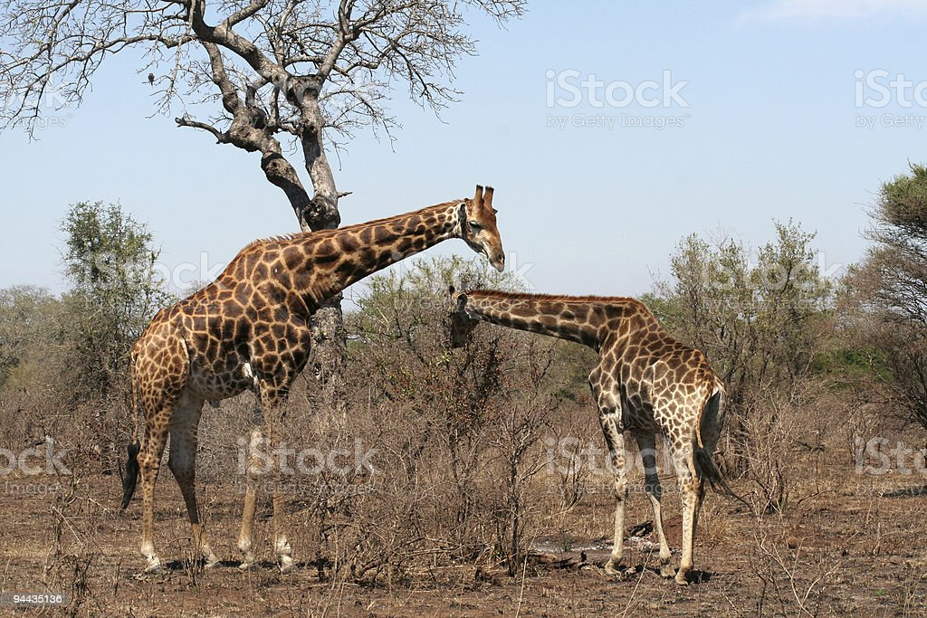 Couple of giraffes in Kruger Park, South Africa. royalty-free stock photo