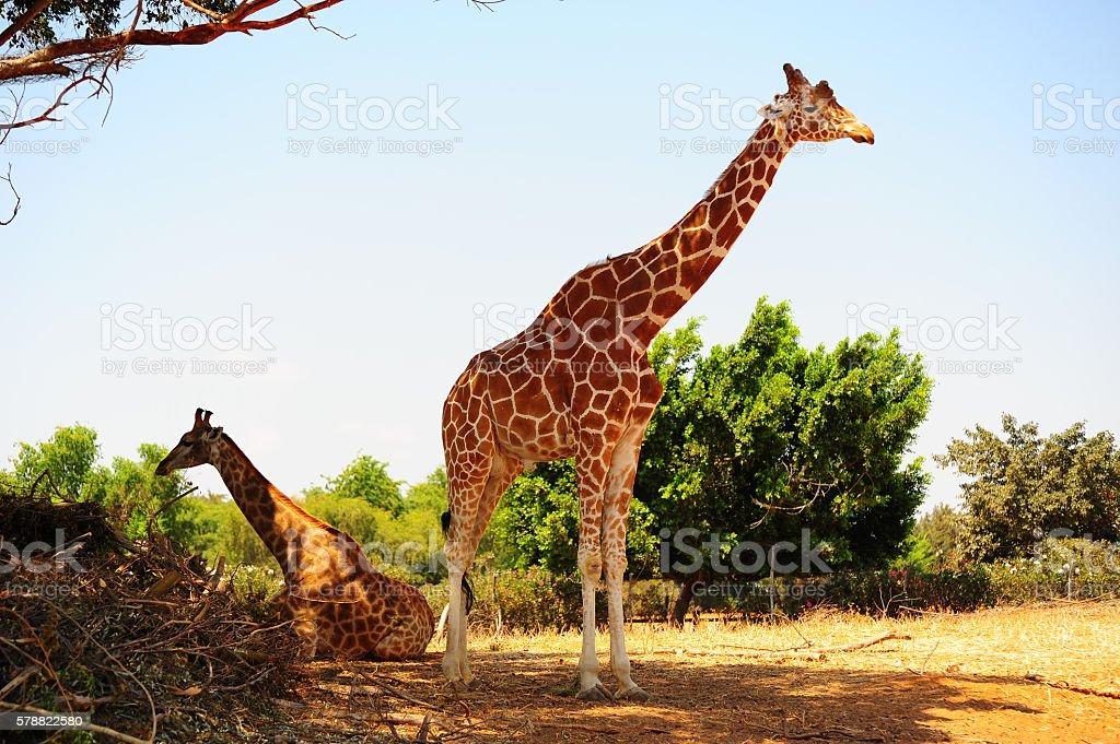 Couple of Giraffes stock photo