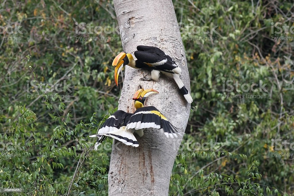 Couple of Great hornbill in nature, at National Pa stock photo