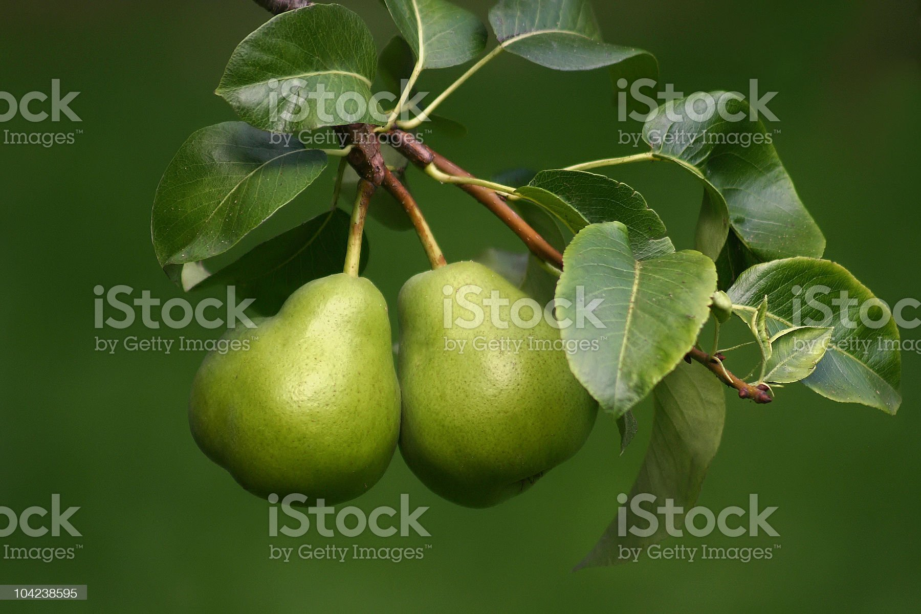 Couple of Green Pears royalty-free stock photo
