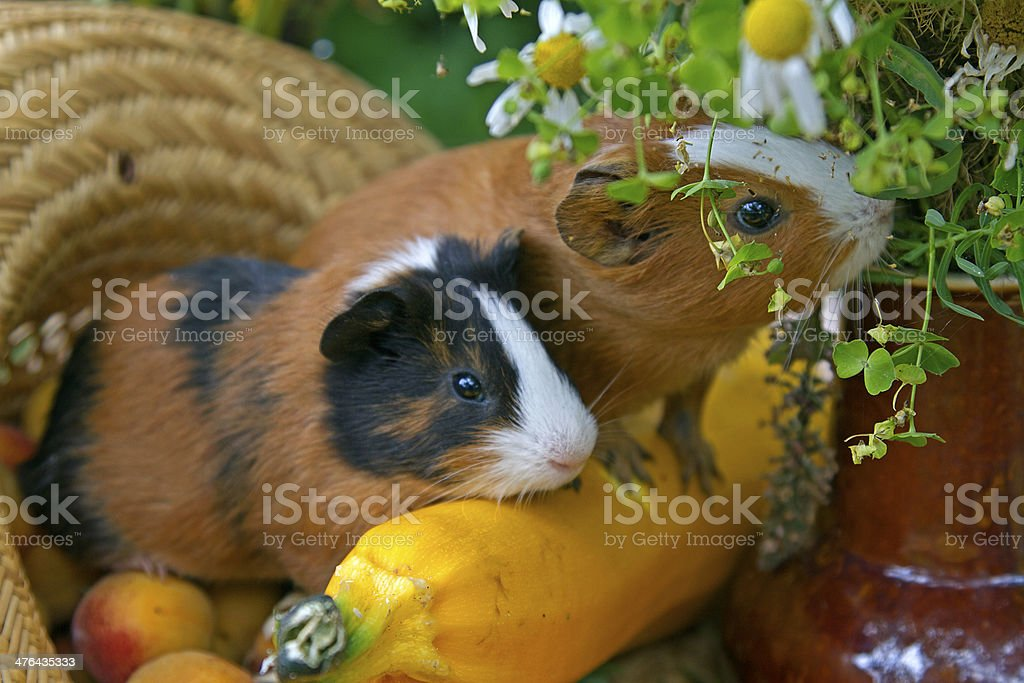 couple of  Guinea pig royalty-free stock photo
