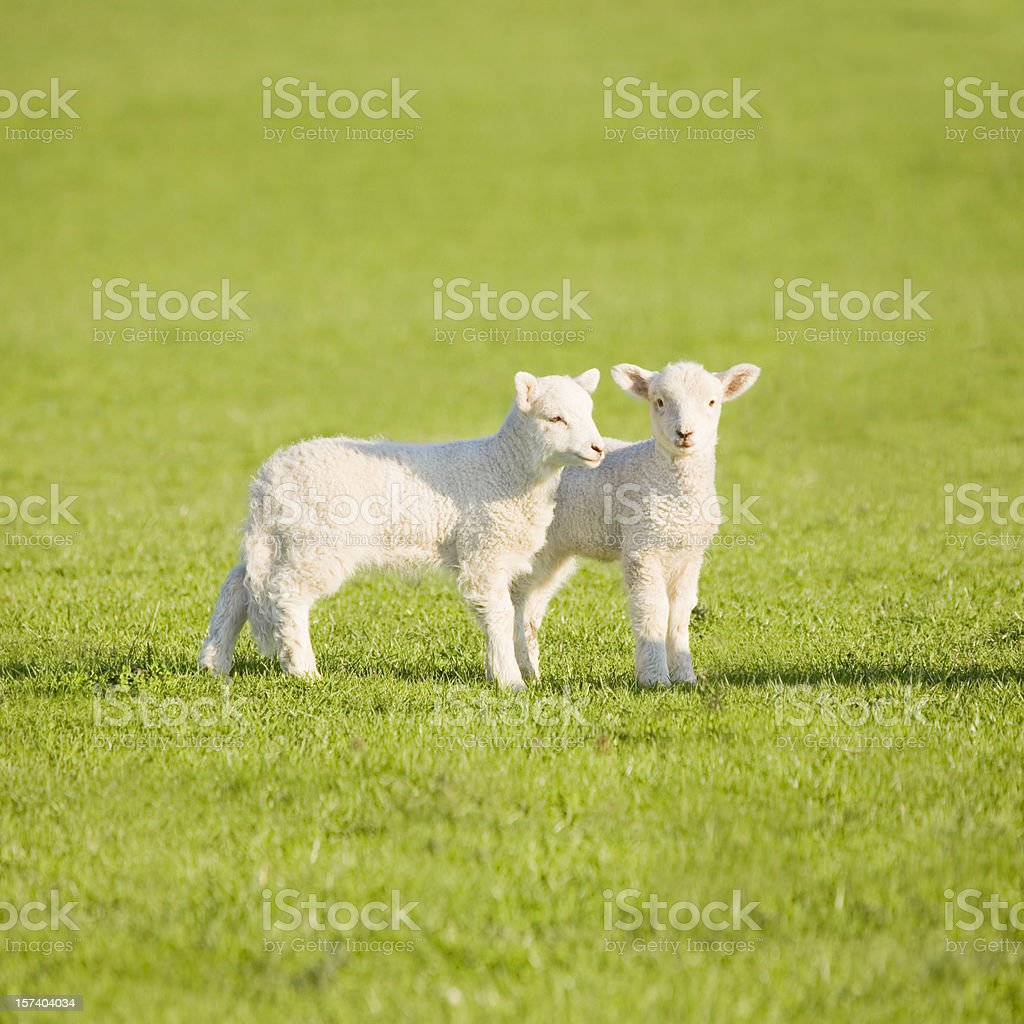 Couple of lambs on New Zealand meadow royalty-free stock photo