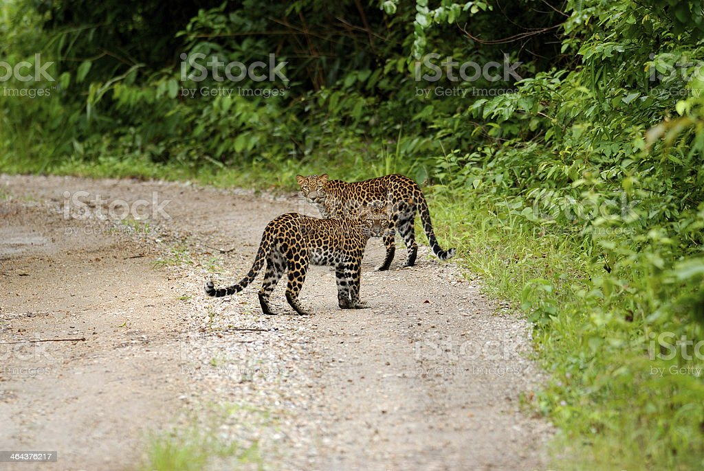 Couple of Lepards on the wild in national park stock photo