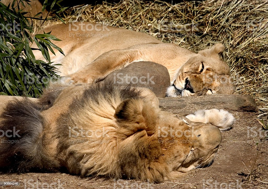 couple of lions royalty-free stock photo