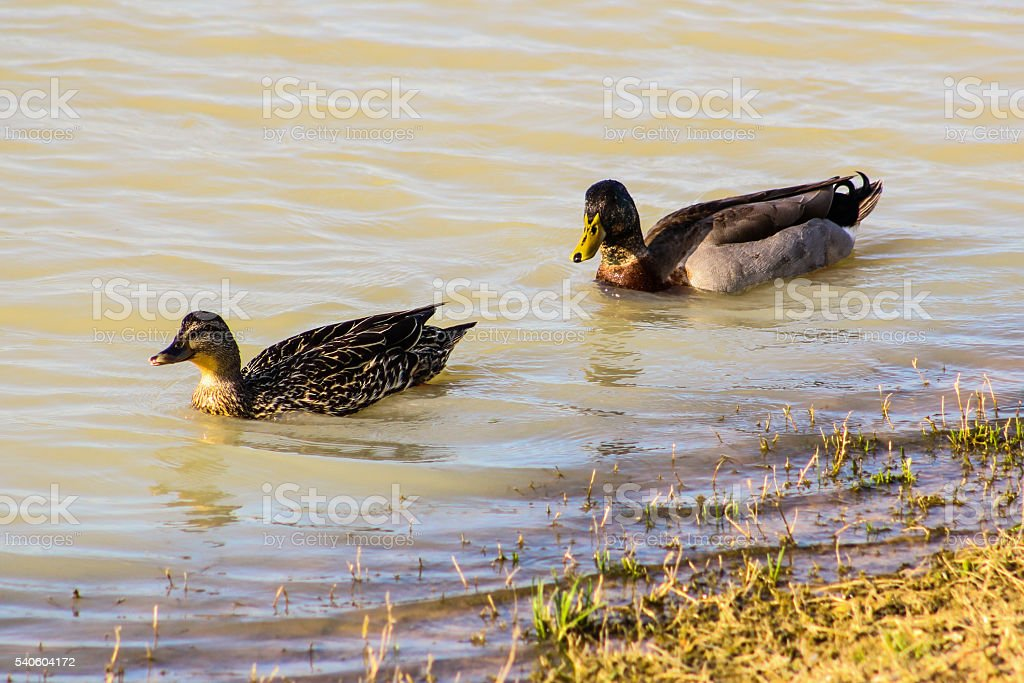 Couple of Mallad Ducks Swimming Together on a Pond stock photo