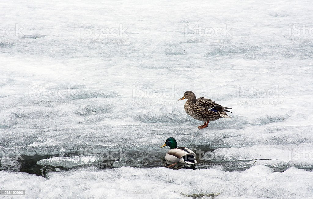 Couple of Mallard Ducks on frozen pond stock photo