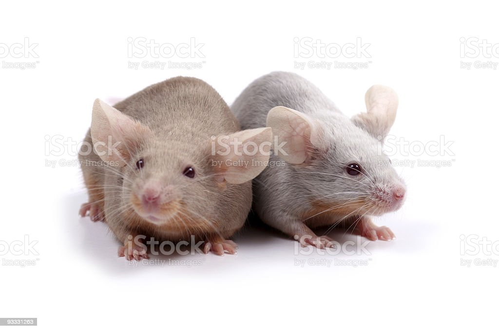couple of mice royalty-free stock photo