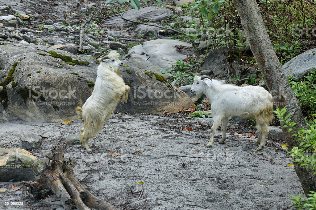 Couple of mountain goats fighting in Nepal stock photo