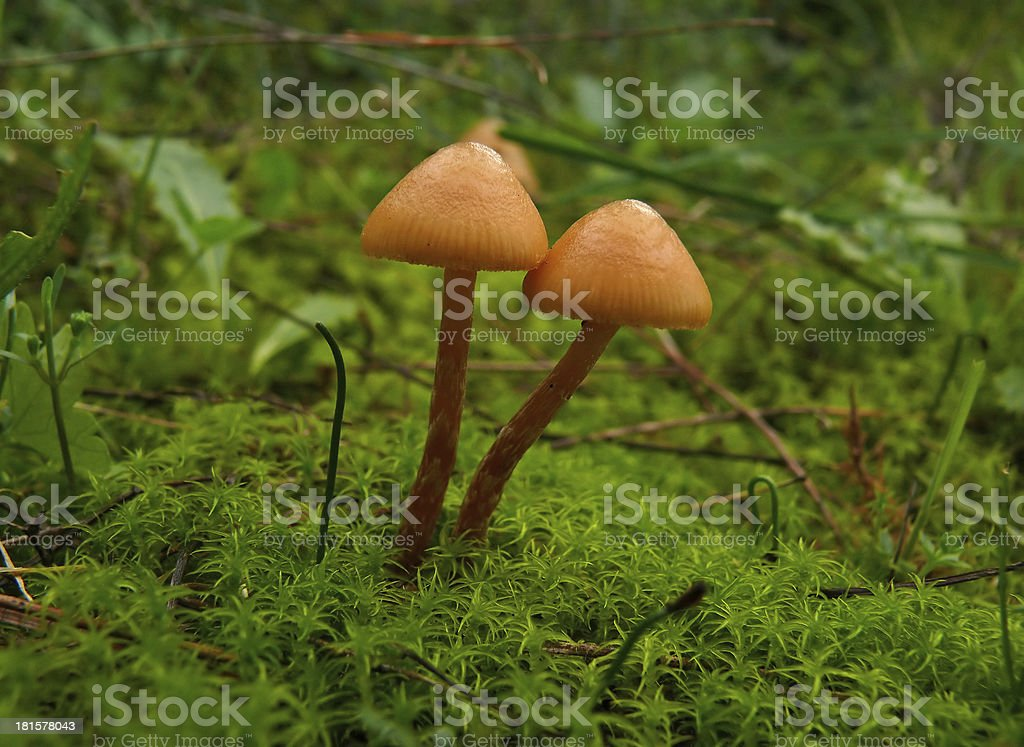 couple of mushrooms royalty-free stock photo