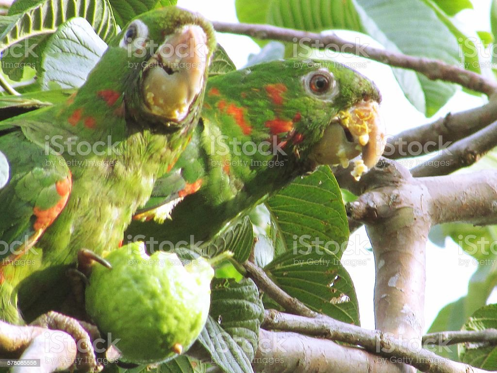Couple of parrots is eating guava in guava tree stock photo