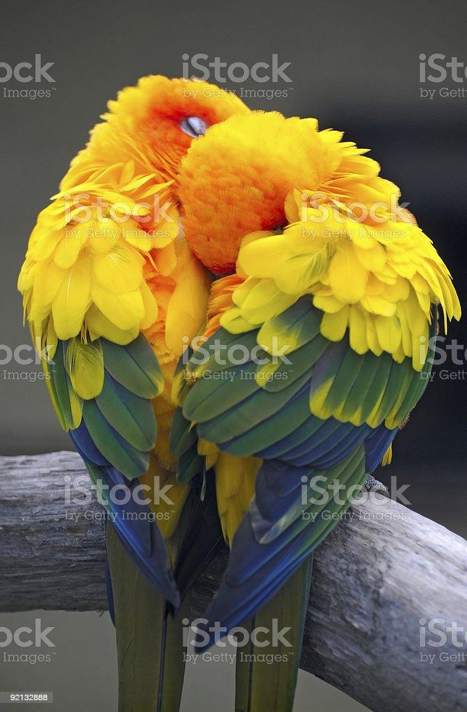 couple of parrots stock photo