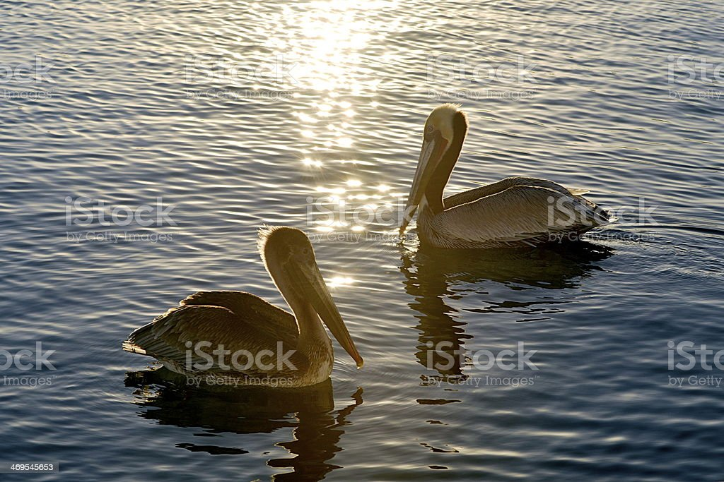 Couple of pelicans swimming at sunset stock photo
