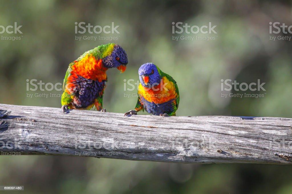 Couple of Rainbow lorikeets in love stock photo