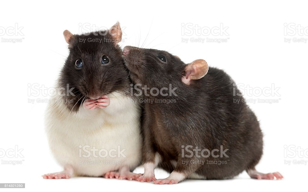 Couple of rats sitting and sniffing, isolated on white stock photo