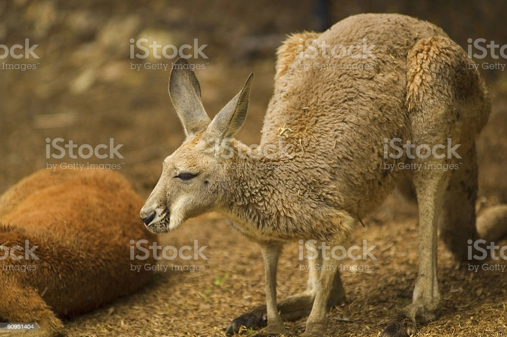 Couple of Red Roos stock photo
