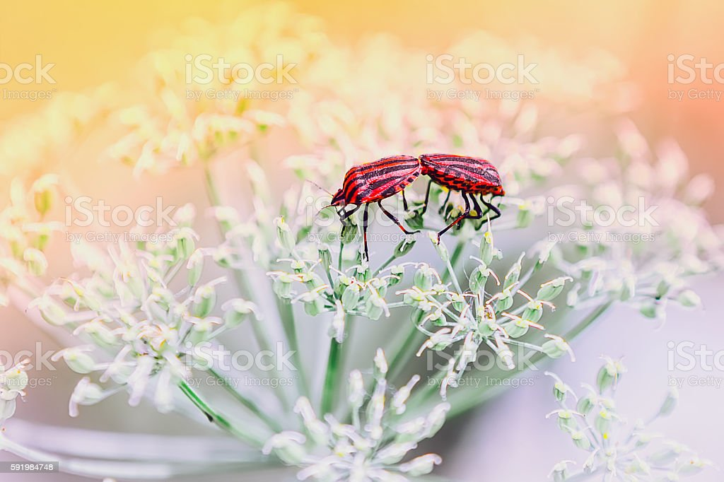 Couple of red shield bugs mating stock photo