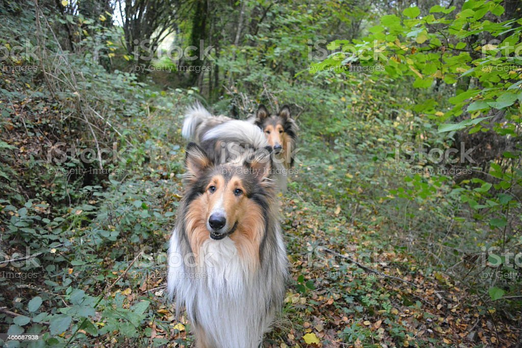 Couple of rough collies dogs in the forest stock photo