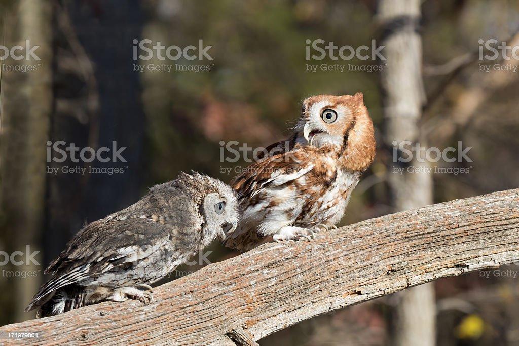 Couple of Screech Owls Screeching! stock photo