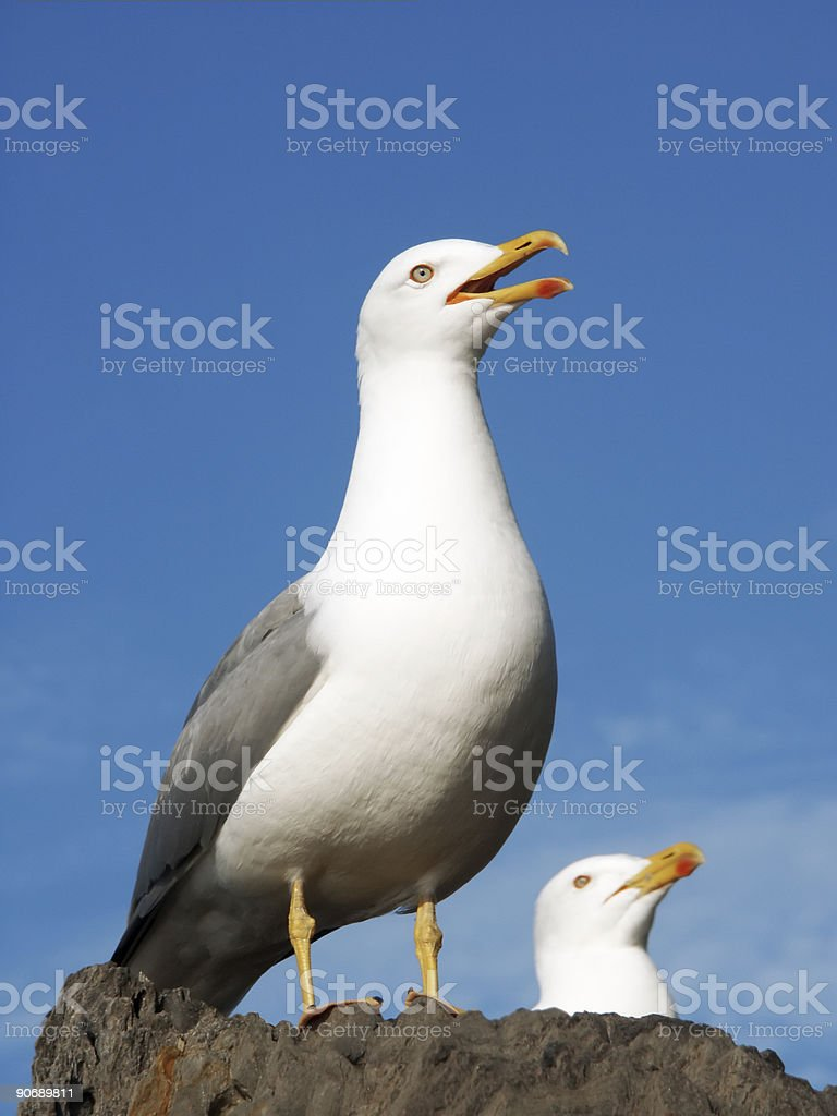 Couple of Seagulls royalty-free stock photo