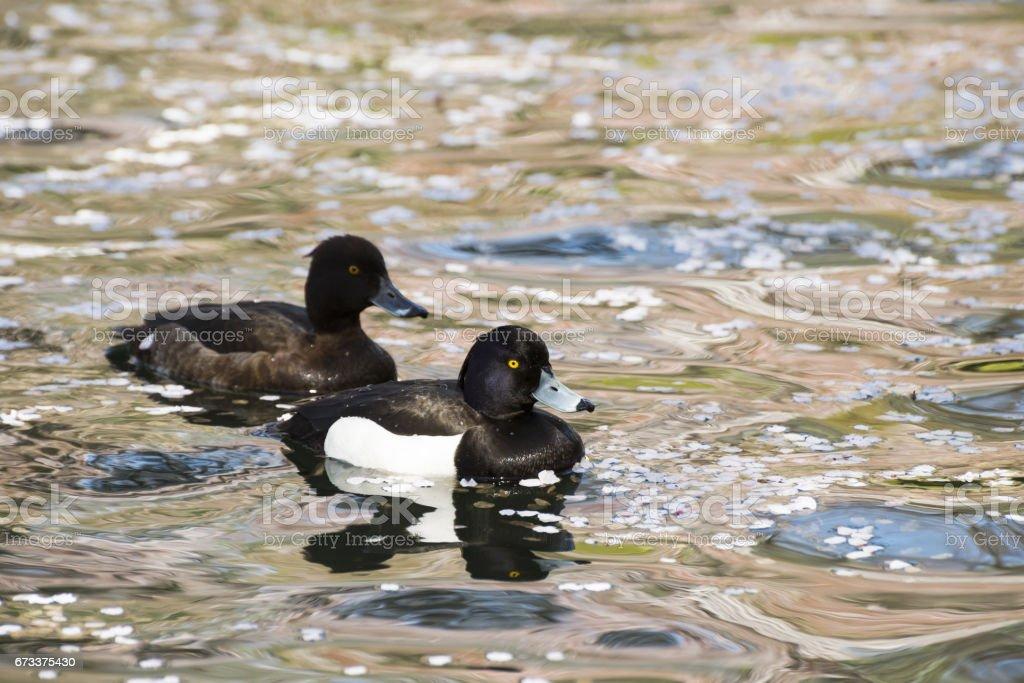 Couple of tufted ducks stock photo