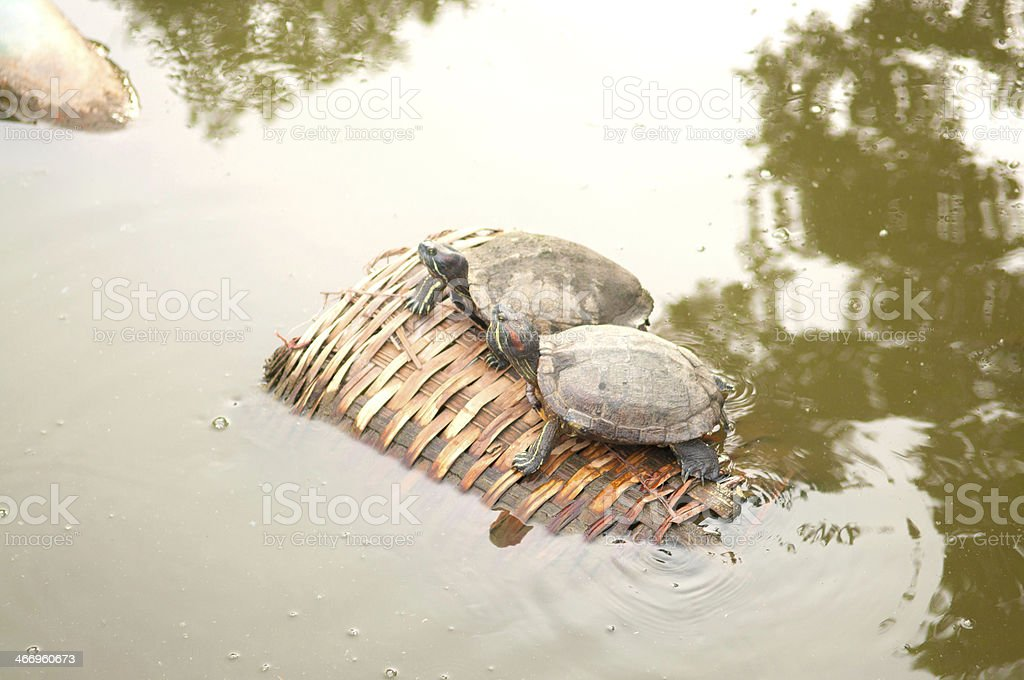 Couple of  turtles on old bamboo basket in lake stock photo
