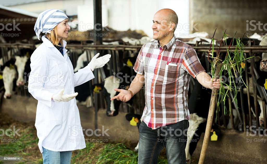 Couple of vets working with milky cows stock photo