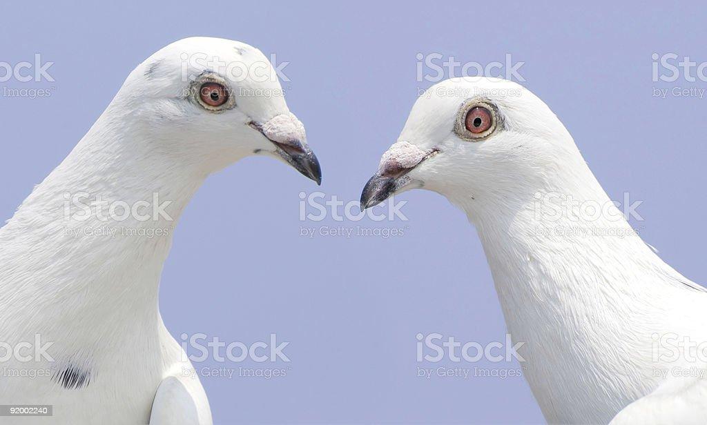 Couple of white doves royalty-free stock photo