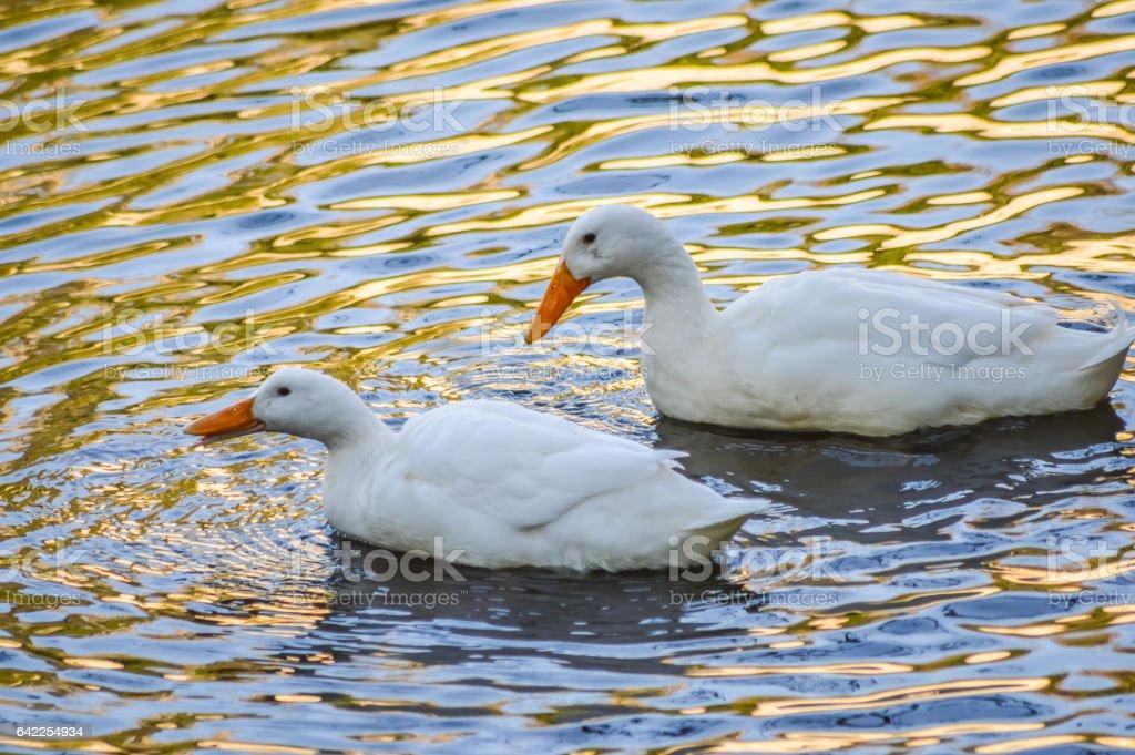 Couple of White Pekin Ducks in water stock photo