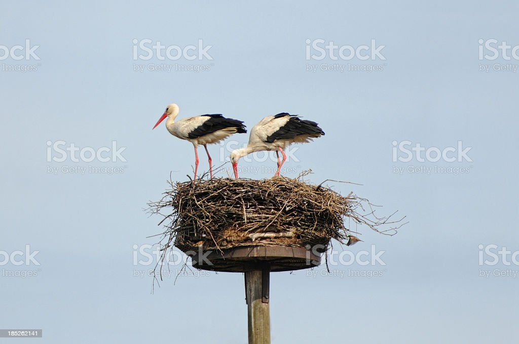 Couple of White Stork (Ciconia ciconia) building on nest stock photo