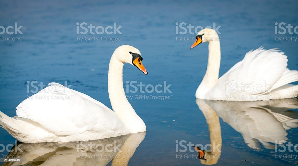 Couple of white swans. Color image stock photo