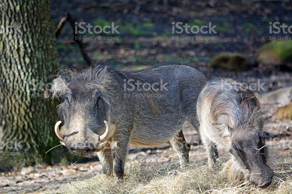 Couple of wild boars with big canines stock photo