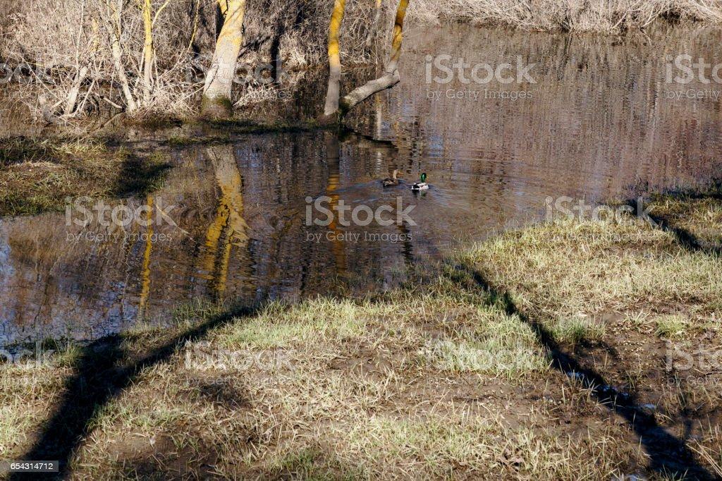 Couple of wild ducks stock photo